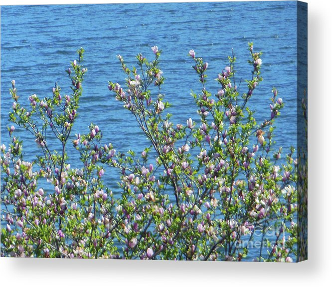Magnolia Flowering Acrylic Print featuring the photograph Magnolia Flowering Tree Blue Water by Rockin Docks Deluxephotos