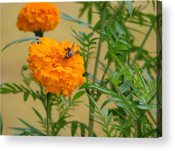 Nature Acrylic Print featuring the photograph Marigold by Reshmi Shankar