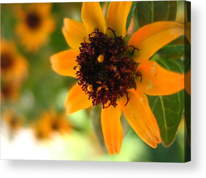 Flower Acrylic Print featuring the photograph Mini Sunflower by Melissa Parks