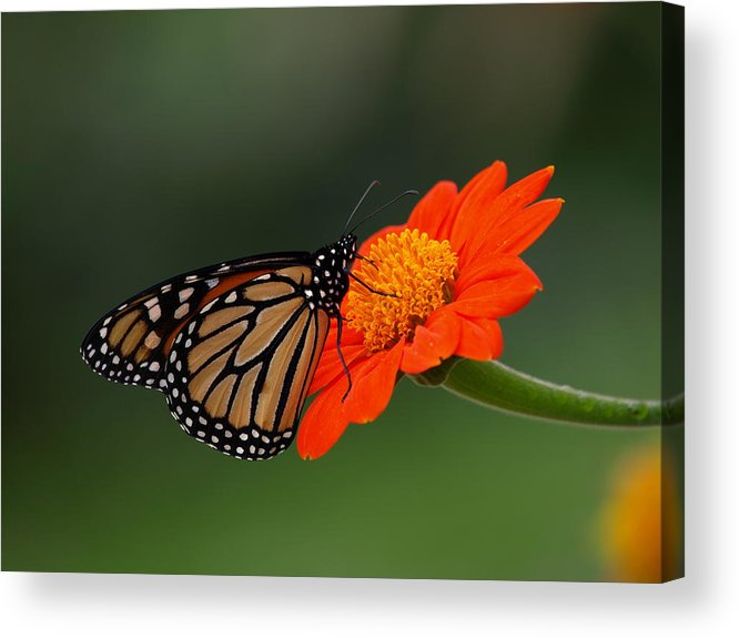 Monarch Acrylic Print featuring the photograph Monarch Glow by Peter Gray