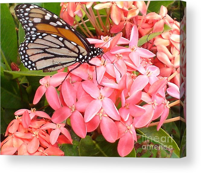 Butterfly Acrylic Print featuring the photograph Monarch On Huneysuckle by Chandelle Hazen