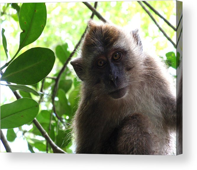 Monkey Acrylic Print featuring the photograph Monkey See by Edan Chapman