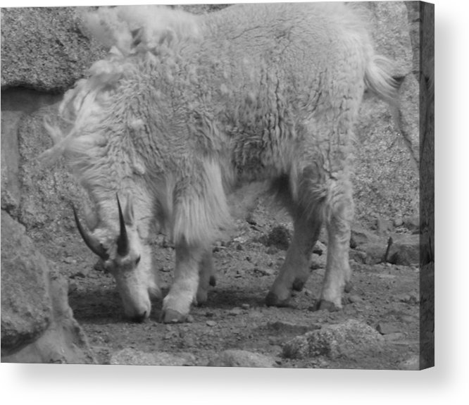 Mountain Goat Acrylic Print featuring the photograph Mountain Goat by Peter McIntosh
