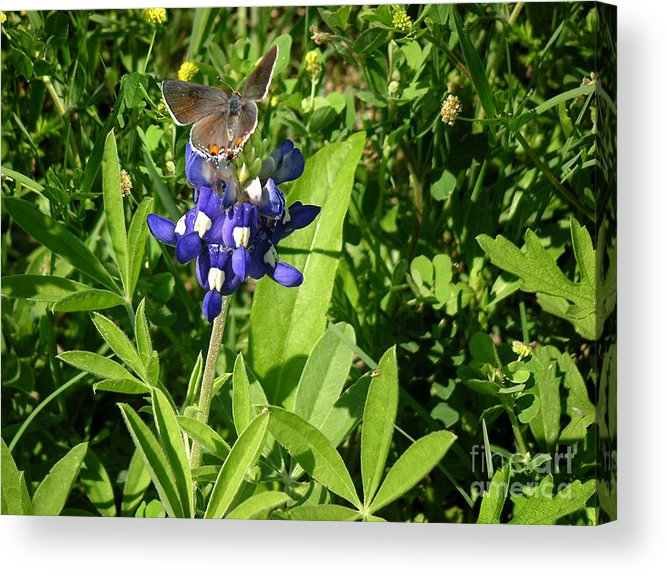 Nature Acrylic Print featuring the photograph Nature In The Wild - Those Sweet Blues by Lucyna A M Green