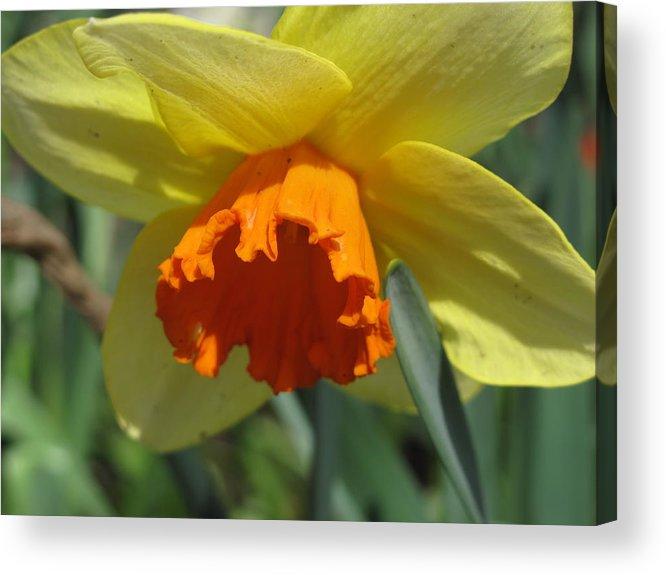 Daffodil Acrylic Print featuring the photograph Nodding Daffodil by Lea Novak