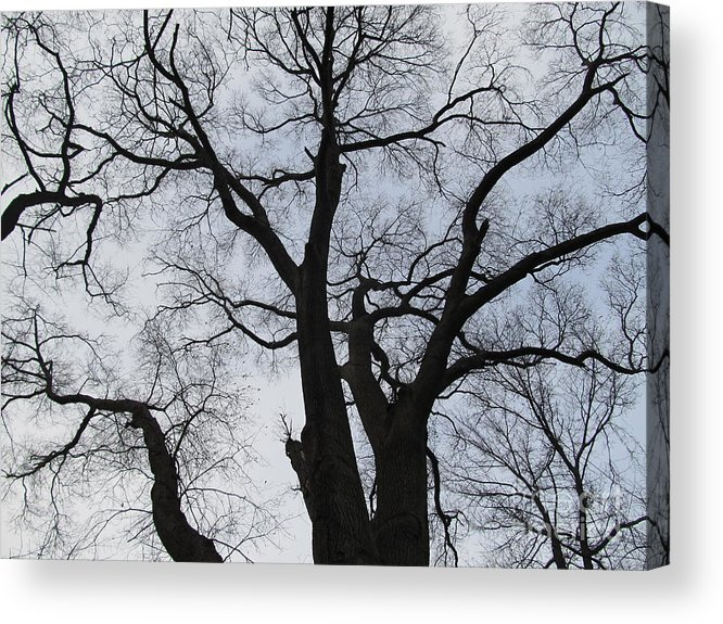 Winter Skyscape Overcast Old Oak Trees Oldgrowth Winter Oak Winter Trees Gray Sky Nature Prints Office Art Fine Art Forest Landscapes Treescapes Flora Acrylic Print featuring the photograph Old Oak Overcast by Joshua Bales