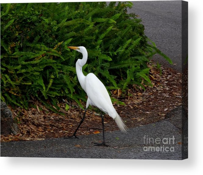 White Acrylic Print featuring the photograph On The Prowl by Scenic Sights By Tara