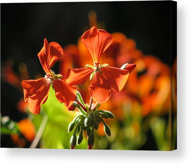 Flower Acrylic Print featuring the photograph Orange Glow by Alfred Ng
