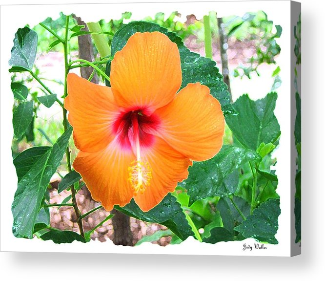 Landscrape Acrylic Print featuring the photograph Orange Hibiscus by Judy Waller