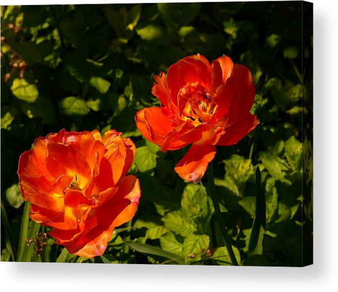 'orange Tulips' Acrylic Print featuring the photograph Orange Tulips In My Garden by Helmut Rottler
