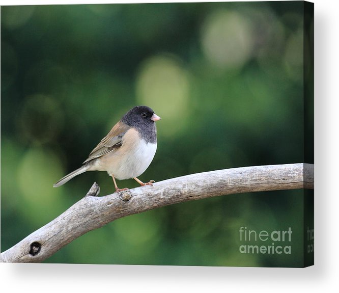 Wildlife Acrylic Print featuring the photograph Oregon Junco by Wingsdomain Art and Photography