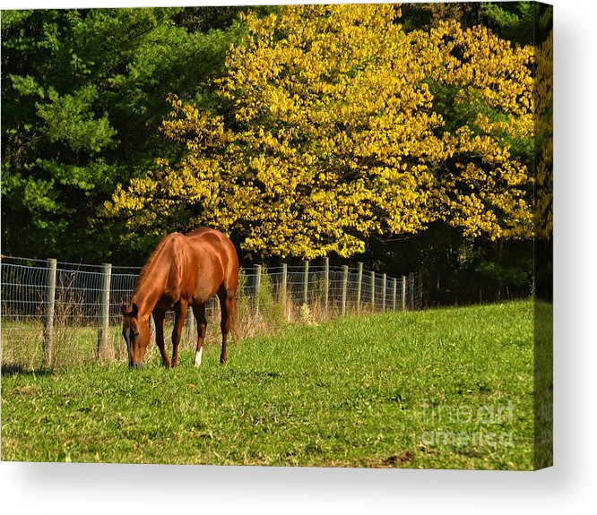 Horse Acrylic Print featuring the photograph Out To Pasture by Kathy Jennings