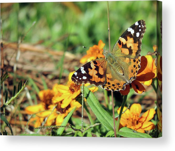 Orange Acrylic Print featuring the photograph Painted Lady On Zinnia by Jayne Wilson
