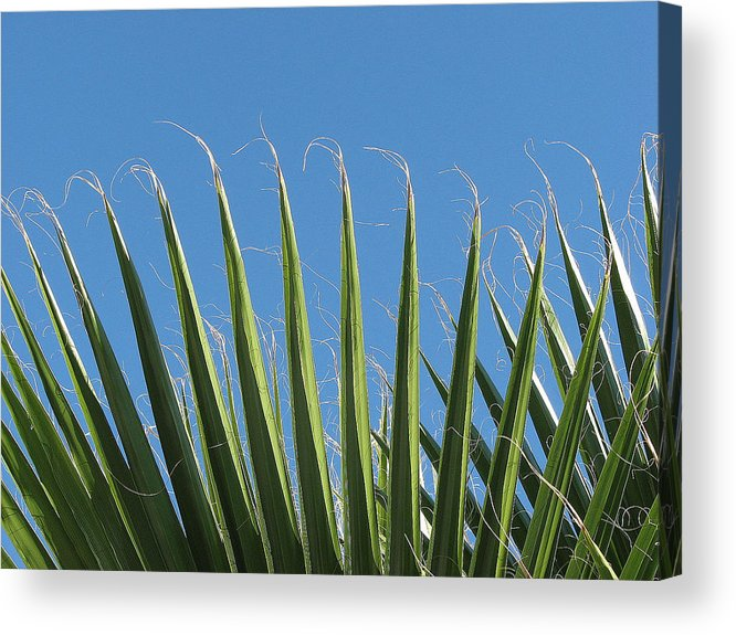 Palms Acrylic Print featuring the photograph Palms by Kathy Roncarati