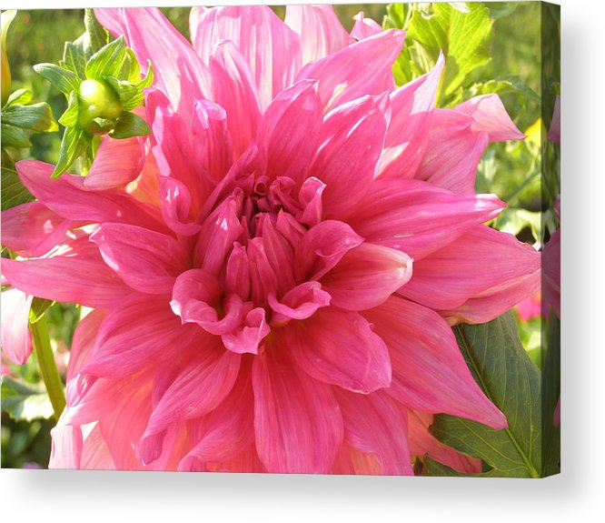 Pink Acrylic Print featuring the photograph Peacefully Pink At Dawn by Cathy Sosnowski
