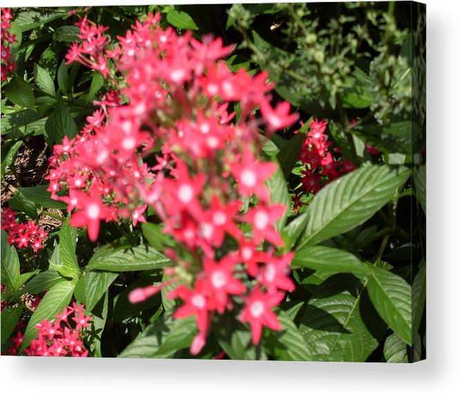 Pink Acrylic Print featuring the photograph Pink Butterfly Penta Flowers by Warren Thompson