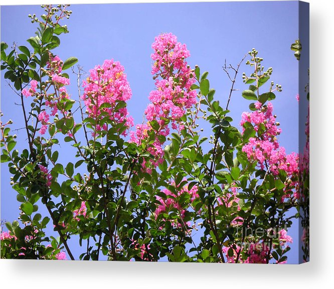 Nature Acrylic Print featuring the photograph Pink On Blue by Lucyna A M Green
