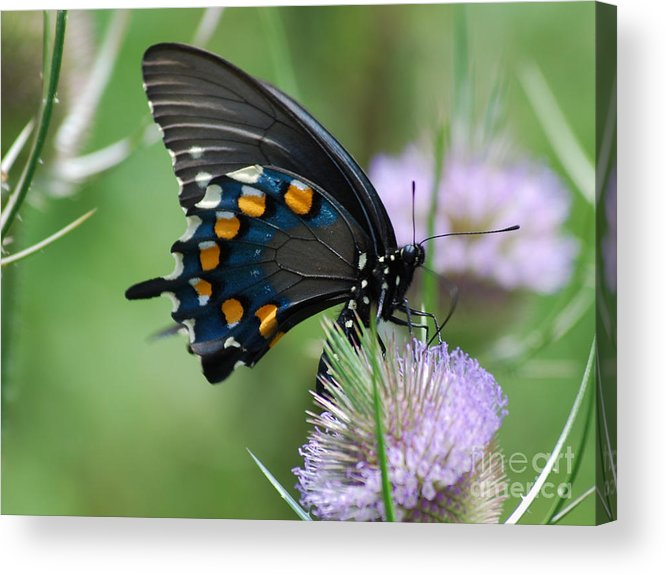 Pipevine Swallowtail Acrylic Print featuring the photograph Pipevine Swallowtail by Randy Bodkins
