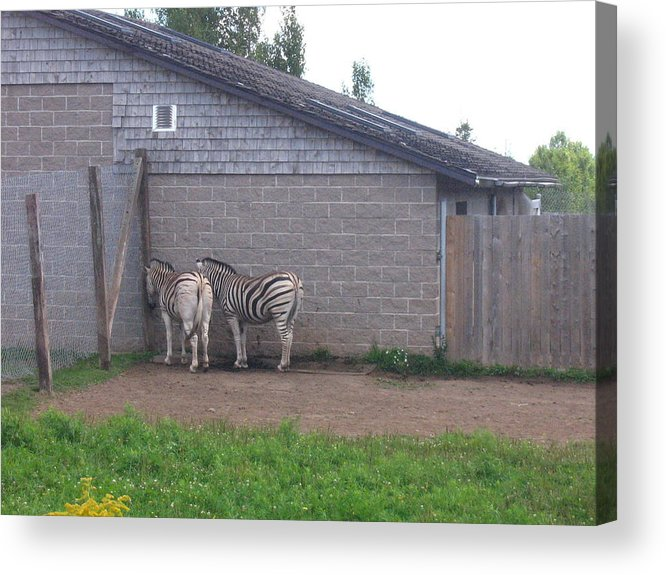 Zebra Acrylic Print featuring the photograph Plains Zebras In The Corner by Melissa Parks