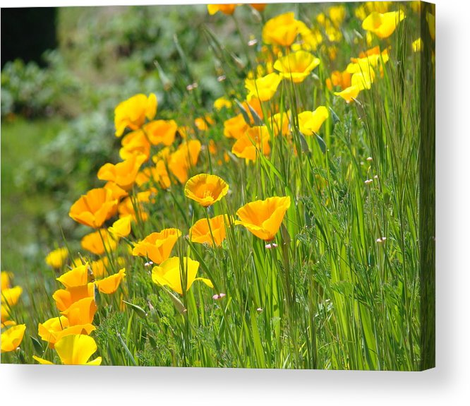 �poppies Artwork� Acrylic Print featuring the photograph Poppies Hillside Meadow Landscape 19 Poppy Flowers Art Prints Baslee Troutman by Baslee Troutman