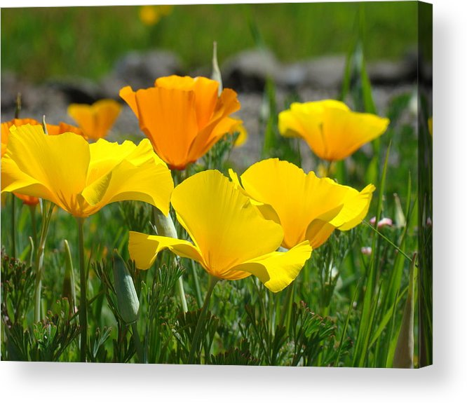 �poppies Artwork� Acrylic Print featuring the photograph Poppy Flower Meadow 14 Poppies Orange Flowers Giclee Art Prints Baslee Troutman by Baslee Troutman