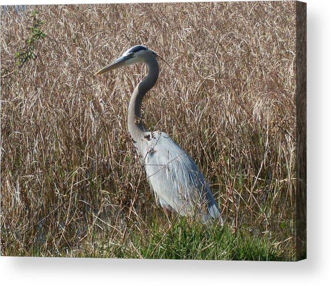 Great Blue Heron Florida Bird Landscape Acrylic Print featuring the photograph Posing Heron by Warren Thompson
