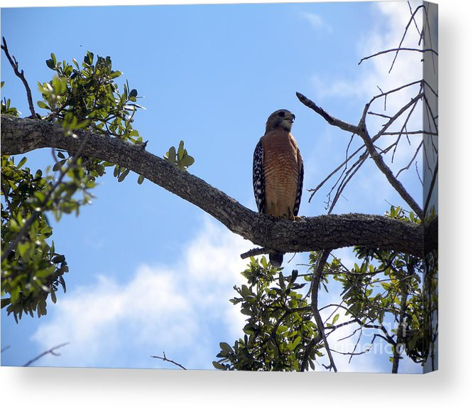 Hawk Acrylic Print featuring the photograph Predator by Terri Mills