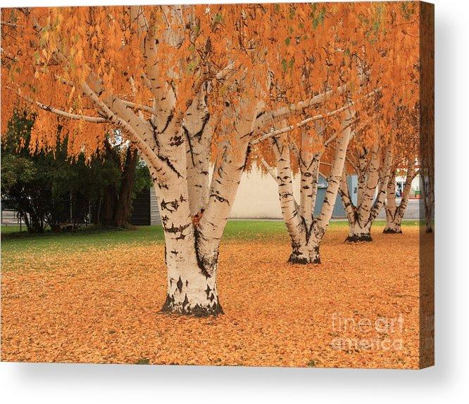 Autumn Landscape Acrylic Print featuring the photograph Prosser - Autumn Birch Trees by Carol Groenen