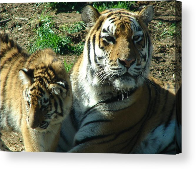 Tigers Acrylic Print featuring the photograph Proud Mom by Reel Shots