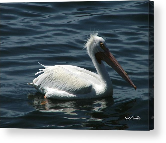 Birds Acrylic Print featuring the photograph Punk Pelican - Side View by Judy Waller