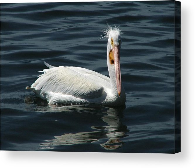Water Acrylic Print featuring the digital art Punk Pelican by Judy Waller