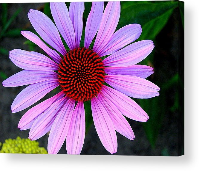 Floral Acrylic Print featuring the photograph Purple Daisy by Kathy Roncarati