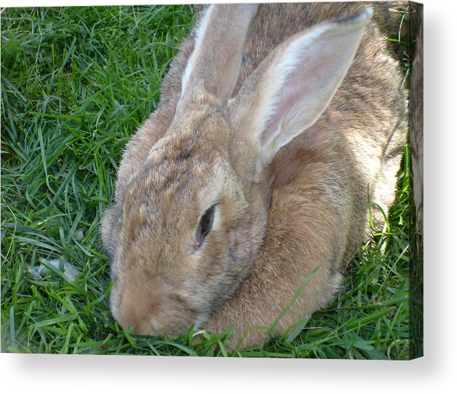 Rabbit Acrylic Print featuring the photograph Rabbit Head On by Melissa Parks