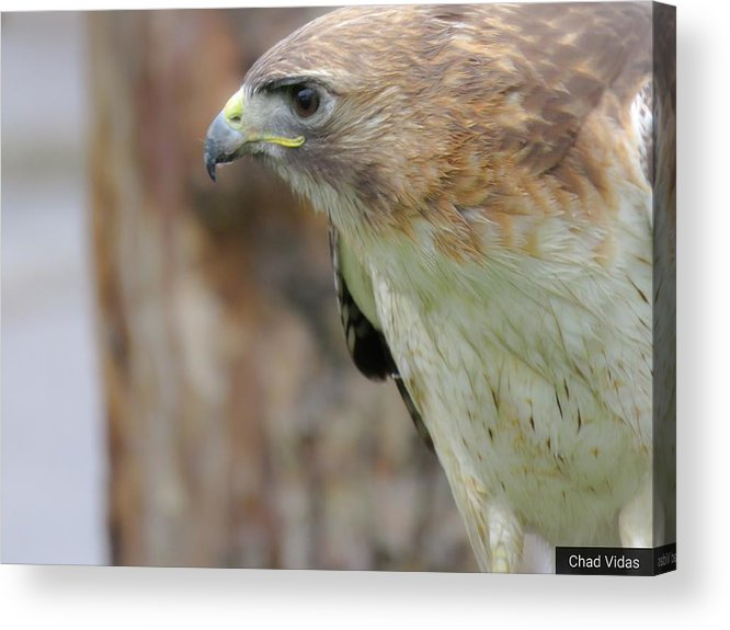 Red-tail Hawk Acrylic Print featuring the photograph Ready To Fly by Chad Vidas