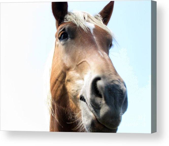 Horse Acrylic Print featuring the photograph Really by Amanda Barcon