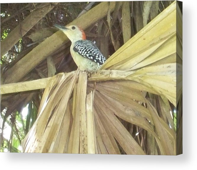 Florida Birds Acrylic Print featuring the photograph Red Bellied Woodpecker by David Zuhusky