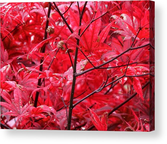 Red Acrylic Print featuring the photograph Red Leaves And Stems 2 Pd by Lyle Crump