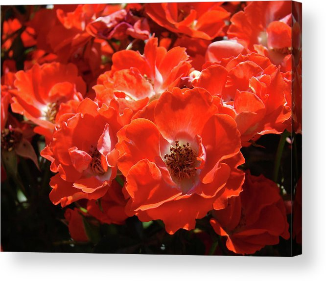 Rose Acrylic Print featuring the photograph Red Roses Botanical Landscape 1 Red Rose Giclee Prints Baslee Troutman by Baslee Troutman