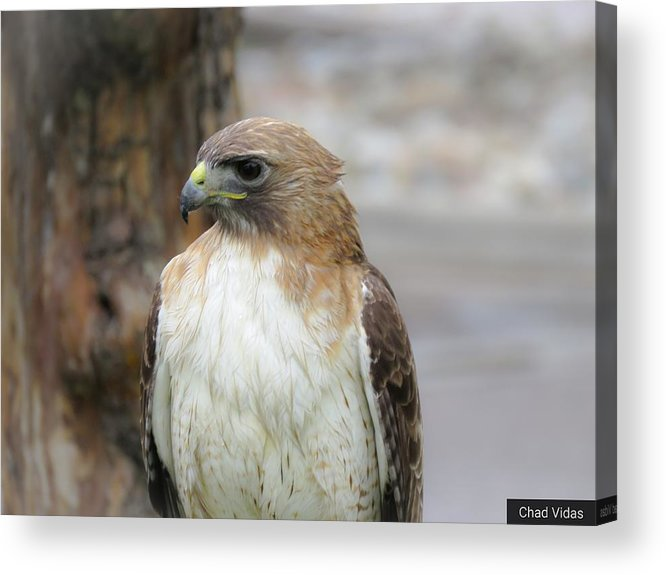 Red-tailed Hawk Acrylic Print featuring the photograph Red-tailed Hawk by Chad Vidas