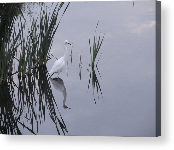 Egret Acrylic Print featuring the photograph Reflecting Egret by Juan Romagosa