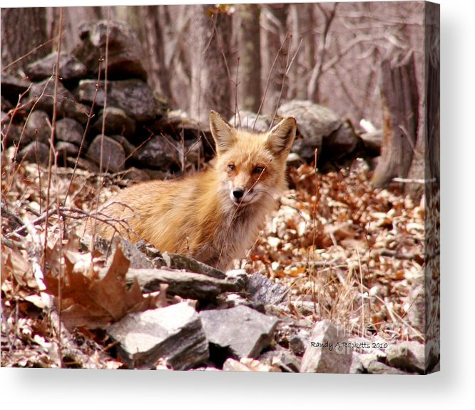 Red Fox Acrylic Print featuring the photograph Resting Fox by Randy Ricketts