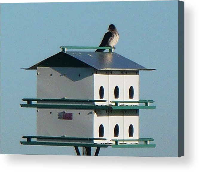 Bird Acrylic Print featuring the photograph Return Of The Purple Martin by Jerry Browning