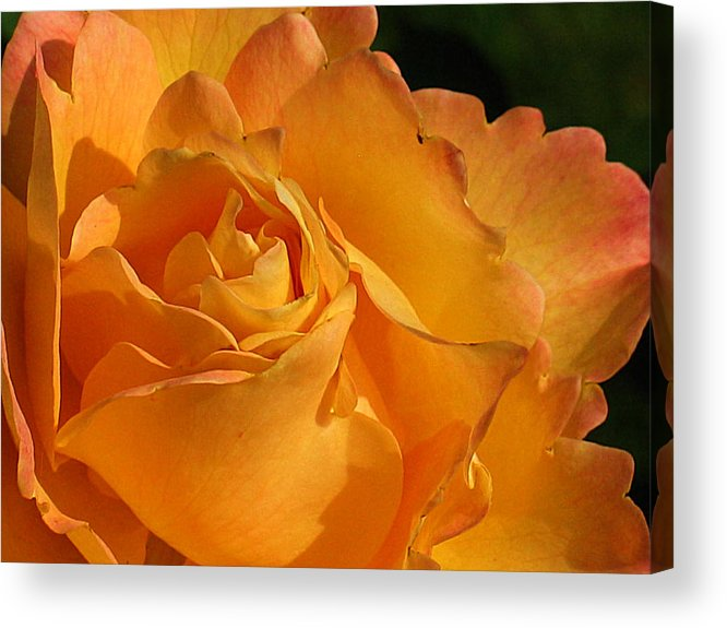 Rose Acrylic Print featuring the photograph Rose In Ruffles by Mg Blackstock