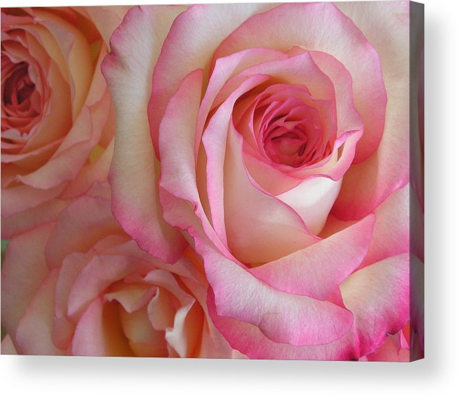Rose Acrylic Print featuring the photograph Roses by Stephanie Golden