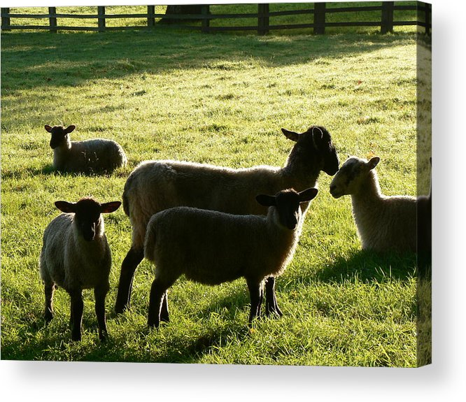 Animals. Sheep. Lambs Acrylic Print featuring the photograph Sheep In The Sunlight by Lynne Iddon