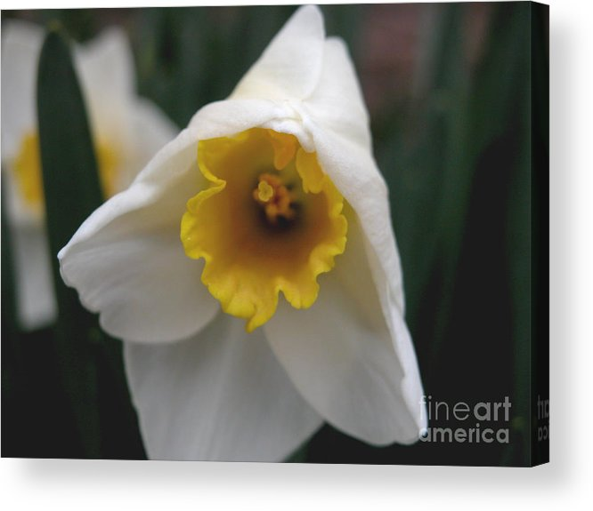 Flower Acrylic Print featuring the photograph Shy by Michelle Hastings