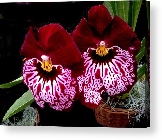 Orchids Acrylic Print featuring the photograph Sister Orchids by Jeanette Oberholtzer