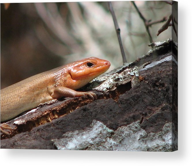 Skink Acrylic Print featuring the photograph Skink 2 by J M Farris Photography