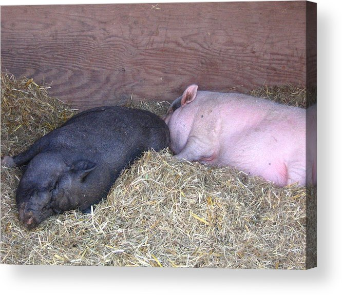 Pig Acrylic Print featuring the photograph Sleeping Pigs In The Hay by Melissa Parks