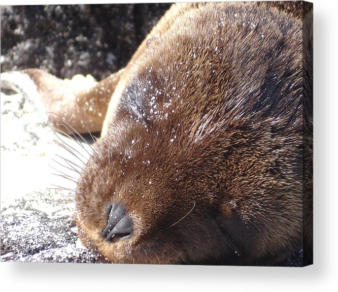 Animal Acrylic Print featuring the photograph Sleeping Sea Lion by Chad Natti
